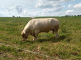 Murray Grey Cows, Calves & Yearlings Auction