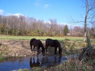 Horses in the north side creek