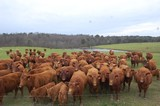 COMMERCIAL RED ANGUS DISPERSAL