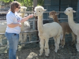 Frazier Park Alpaca Auction