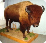 BISON RANCH AUCTION/ WESTERN ART/ BISON TAXIDERMY AND HIDES/ VINTAGE SLOT MACHINES AND MORE!