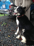 Notice: Dog Found on Kings Hwy.