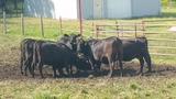 LARGE ANGUS CATTLE AUCTION