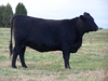 This heifer will give scholarships for years to come @ NCSU:
