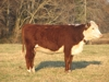 The bred that won the west & a heifer to boot.: