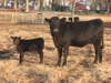 1st calf heifer w/her baby @ side & there will a load on the sale just like her.: