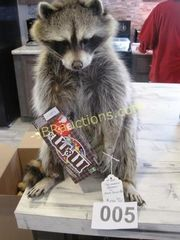 Lot# 5 - RACOON W/ M&M CANDY BOX TAXIDER