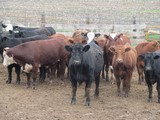 Feeder Cattle & Feed